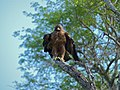 Wahlberg's Eagle (Aquila wahlbergi) (11466299164).jpg