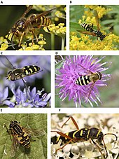 many insects including hoverflies and the wasp beetle are