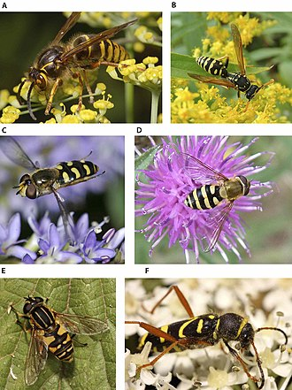 Adaptation - A and B show real wasps; the rest are Batesian mimics: three hoverflies and one beetle.
