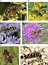 Wasp mimicry.jpg