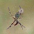 Wasp spider (Argiope bruennichi) dorsal.jpg
