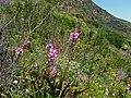 Watsonia borbonica Devils Peak.JPG