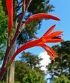 Watsonia fulgens 4.jpg