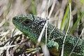 Western Green Lizard - Lacerta bilineata (16981760476).jpg