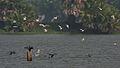 Whiskered Tern (Chlidonias hybridus) & Indian Cormorant (Phalacrocorax fuscicollis) W IMG 3714.jpg
