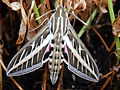 White-Lined Sphinx Moth- Wings extended.JPG