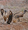 White-backed Vultures (Gyps africanus) (33126267422).jpg