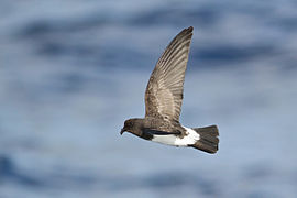 White-bellied Storm-Petrel-Lord Howe Island-26March2013.jpg