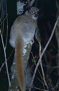 White-footed sportive lemur Species of lemur
