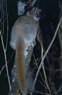 White-footed Sportive Lemur (Lepilemur leucopus) (9598840071).jpg