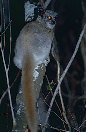 Description de l'image White-footed Sportive Lemur (Lepilemur leucopus) (9598840071).jpg.