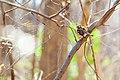 White-throated sparrow (19873940344).jpg