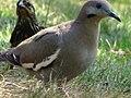 White-winged Dove (5997789499).jpg