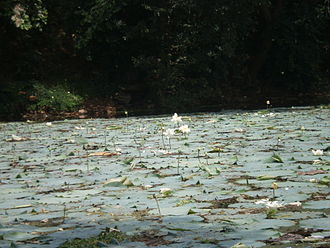 Nelumbo - Lotus in lake, showing leaves, buds, flowers, seed heads