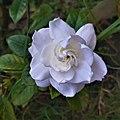 White Rose 180900.jpg