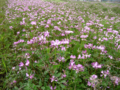 Wide Chinese milk vetch field- Japan.png