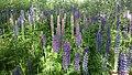 Wild Lupins (Lupinus) - panoramio.jpg