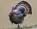 Wild Turkey (m) (40963017931).jpg