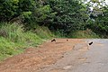 Wild cocks in Kōkee State Park Kauai Hawaii (46227600762).jpg