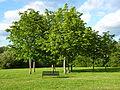 Winnersh Meadows Trees.jpg