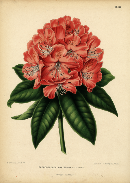Pl. 18: Rhododendron consessum Byls (hybr)