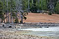Wolf on the shore of Yellowstone Lake (32955072544).jpg