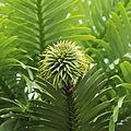 Wollemia nobilis-IMG 5975.jpg