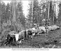 Women and children standing on logs being hauled by team of oxen, ca 1903 (INDOCC 644).jpg