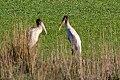 Wood Stork (Mycteria americana) (8077680340).jpg