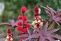Wunderbaum (Ricinus communis) (15436628611).jpg