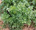 Wurzelpetersilie Blätter.jpg