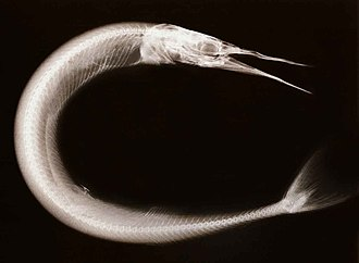 Needlefish - X-ray of a needlefish