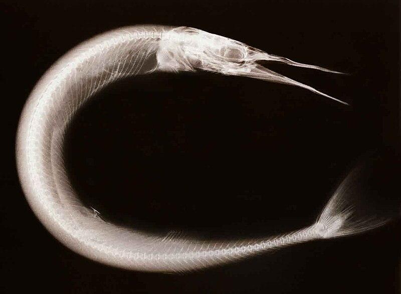 X-RayOfNeedlefish-1.jpg