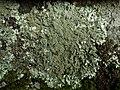 Xanthoparmelia conspersa (Ehrh. ex Ach.) Hale 411812.jpg