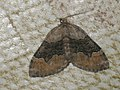 Xanthorhoe quadrifasciata - Large twin-spot carpet - Ларенция четырёхполосая (27089083528).jpg
