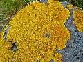Xanthoria aureola 104935984.jpg