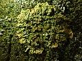 Xanthoria parietina 100502724.jpg