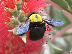 240px xylocopa pubescens female on callistemon