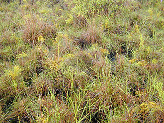Xyris - Stand of mostly Xyris complanata in a small wetland