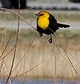 Yellow-headed Blackbird (5673397978).jpg