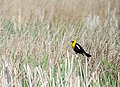 Yellow-headed Blackbird Male (7337787458).jpg