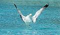 Yellow-legged gull, CAC (6).jpg