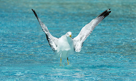Yellow-legged gull, CAC (6).jpg