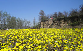 Yellow Flowers on The Baliran Jungle.JPG