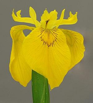 Iris pseudacorus - Image: Yellow Iris Iris pseudacorus Flower 1469px