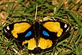 Yellow Pansy-DSC 1884.jpg