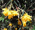 Yellow flowers pending Adelaide.jpg