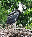 Young One of Wooly-necked Stork .jpg