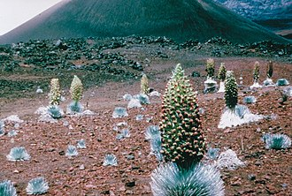 Adaptive radiation - A mixture of blooming and non-blooming Haleakalā silverswords (Argyroxiphium sandwicense macrocephalum).