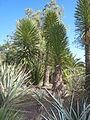 Yucca decipiens JOT 3.jpg